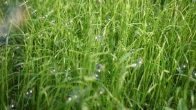 Massor av såpbubblor, fluga och land på det högväxta gröna gräset, på en solig dag lager videofilmer