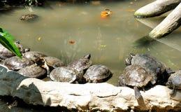 Massor av sköldpaddor i pölen på zoo Arkivfoton