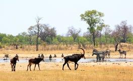Massor av svart antilop går förbi en waterhole i den Hwange nationalparken royaltyfria foton