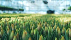 Massor av tulpan odlade i ett växthus i en jordning stock video