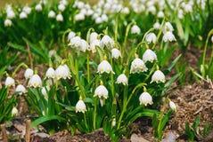 Massor av vita vår-blomning blommor av den vårsnöflingaLeucojum vernumen arkivfoton