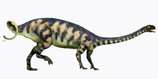 Massospondylus on White. Massospondylus was a herbivorous prosauropod dinosaur that lived during the Jurassic Period of South Africa Royalty Free Stock Photo