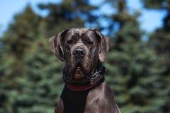 Mastín del alemán de la raza del perro Foto de archivo libre de regalías