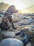 Mastín en Malibu imagen de archivo