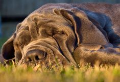 Mast?n grande del perro el dormir en hierba verde imagen de archivo libre de regalías