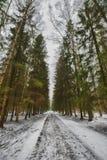 Mast сосны и высокие березы в хмурой зиме, покрытый снег парк, обрабатывать искусства стоковая фотография
