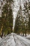 Mast сосны и высокие березы в хмурой зиме, покрытый снег парк, обрабатывать искусства стоковые фото