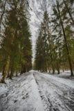 Mast сосны и высокие березы в хмурой зиме, покрытый снег парк, обрабатывать искусства стоковые изображения rf