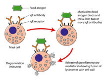 Mast cell degranulation. Explosive degranulation of vasoactive amines and other proinflammatory mediators after exposure of mast cell to food antigen Royalty Free Stock Images