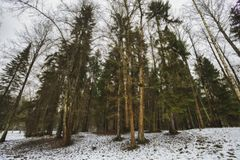 Mast pines and high birches in the gloomy winter, snow-covered park, art processing. stock photos