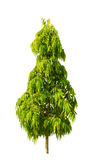 The mast tree , Cemetery tree isolated on white background. Stock Photography
