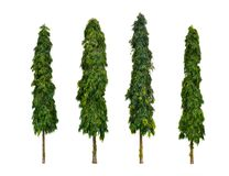 The Mast Trees. Set of four Polyalthia longifolia trees on white background The Mast Tree, India Ashok, Ornamental garden plant Stock Photos