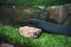 Mastacembelus erythrotaenia i akvariet Arkivfoto
