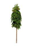 Mastboom of Begraafplaatsboom Royalty-vrije Stock Afbeelding