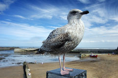 Master of all I survey. A juvenile herring gull, in first winter plumage, perched on a post overlooking a beach Royalty Free Stock Photo