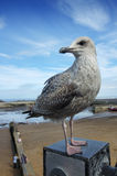 Master of all I survey. A juvenile herring gull, in first winter plumage, perched on a post by the sea, with tiny human figures on the beach below Stock Photos