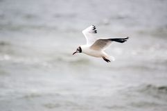 Master of coast. Seagull flying above sea whater Royalty Free Stock Photo