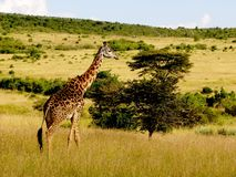 Master del Maasai Mara Fotografia Stock Libera da Diritti