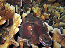 Master of Disguise. Night octopus Royalty Free Stock Photo