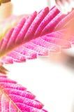 Master kush leaf Royalty Free Stock Photo
