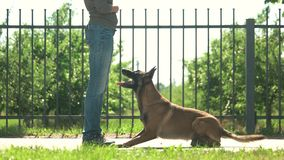Master and obedient dog. Smart dog is joyfully executing commands stock video footage