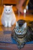 Master's cats Stock Photo