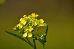 Mustard flower. Yellow mustard flower and plant in beautiful nature yellowish green background stock photo