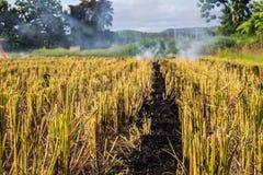 Masterizzando della paglia bruciante della stoppia del riso negli agricoltori del riso in Thailan Immagini Stock