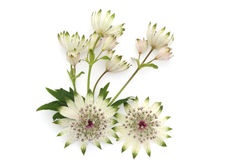 Masterwort flowers isolated on white Royalty Free Stock Photography