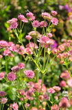 Masterwort (major do Astrantia) Imagem de Stock