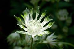 Masterwort - single flower, Astrantia major. Masterwort - single flower - Astrantia major Stock Photo