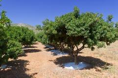 Mastic tree Royalty Free Stock Photography