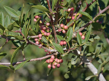 Mastic Tree. Pistacia lentiscus Stock Photos