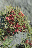 Mastic Tree. With Red Berries - Pistacia lentiscus Royalty Free Stock Photography