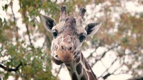 Masticación de la jirafa en la cámara lenta almacen de metraje de vídeo