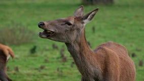 Masticación de los ciervos comunes almacen de metraje de vídeo