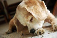 Masticación del perro de aguas de cocker foto de archivo