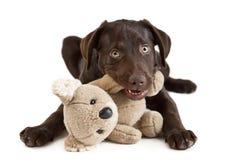 Masticación del perrito Imagen de archivo libre de regalías