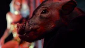 Masticando el bozal del cerdo, mirando la cámara, en un club nocturno, iluminado por la luz metrajes