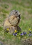 Masticare della marmotta Fotografia Stock Libera da Diritti