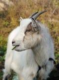 Mastication de chèvre photo stock