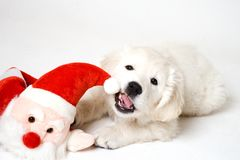 Mastication sur Santa Photos libres de droits