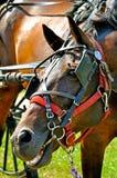 Mastications bruyantes de cheval au bit-1 images libres de droits