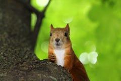 Masticazione del dado dello scoiattolo Immagini Stock