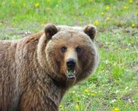 Masticazione dell'orso grigio Fotografia Stock Libera da Diritti