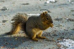 Masticazione dello scoiattolo Fotografia Stock