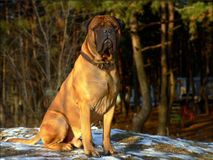 mastif byka Obraz Royalty Free