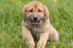 mastifa spanish obrazy royalty free