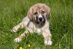 mastifa spanish zdjęcia royalty free