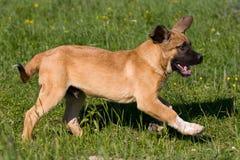 mastifa spanish obraz stock